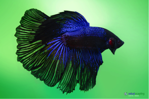 Betta splendens mâle (robe bleue)